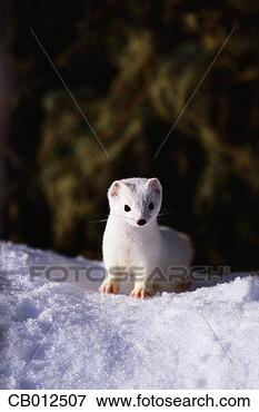 Picture - ermine peeking<br/>over a snow drift.<br/>fotosearch - search<br/>stock photos,<br/>pictures, images,<br/>and photo clipart