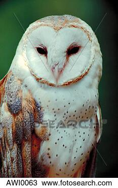<<:;Rising;:>> A PRP for **(me,Varjack,Mad Moai,and Lan Fan)** Barn-owl_~AWI0063