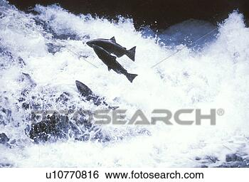 Stock Photo - salmon swimming  upstream. fotosearch  - search stock  photos, pictures,  wall murals, images,  and photo clipart