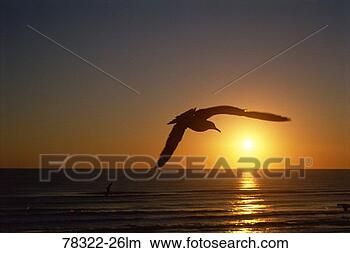 Stock Photo - sea gull in flight  over gulf of mexico  at sunrise, padre  island, texas.  fotosearch - search  stock photos,  pictures, wall  murals, images,  and photo clipart