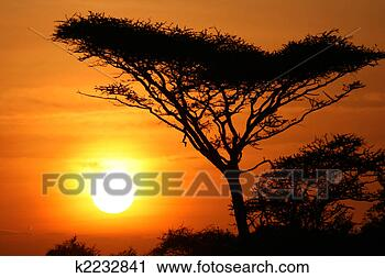Stock Photography - acacia tree sunset,  serengeti, africa.  fotosearch - search  stock photos,  pictures, wall  murals, images,  and photo clipart