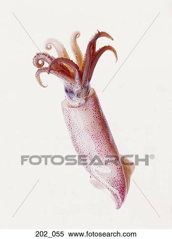 Archivio Immagini - calamaro. fotosearch - cerca archivi fotografici, foto, illustrazioni, stampe murali, immagini e foto clipart