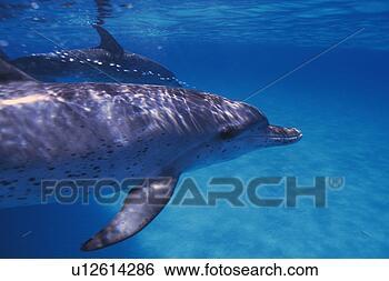 Banque de Photo - couple, tacheté,  dauphin, natation,  ensemble. fotosearch  - recherchez des  photos, des images  et des cliparts